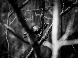 Kolkrabe | fotomontag | Norbert Eder Photography