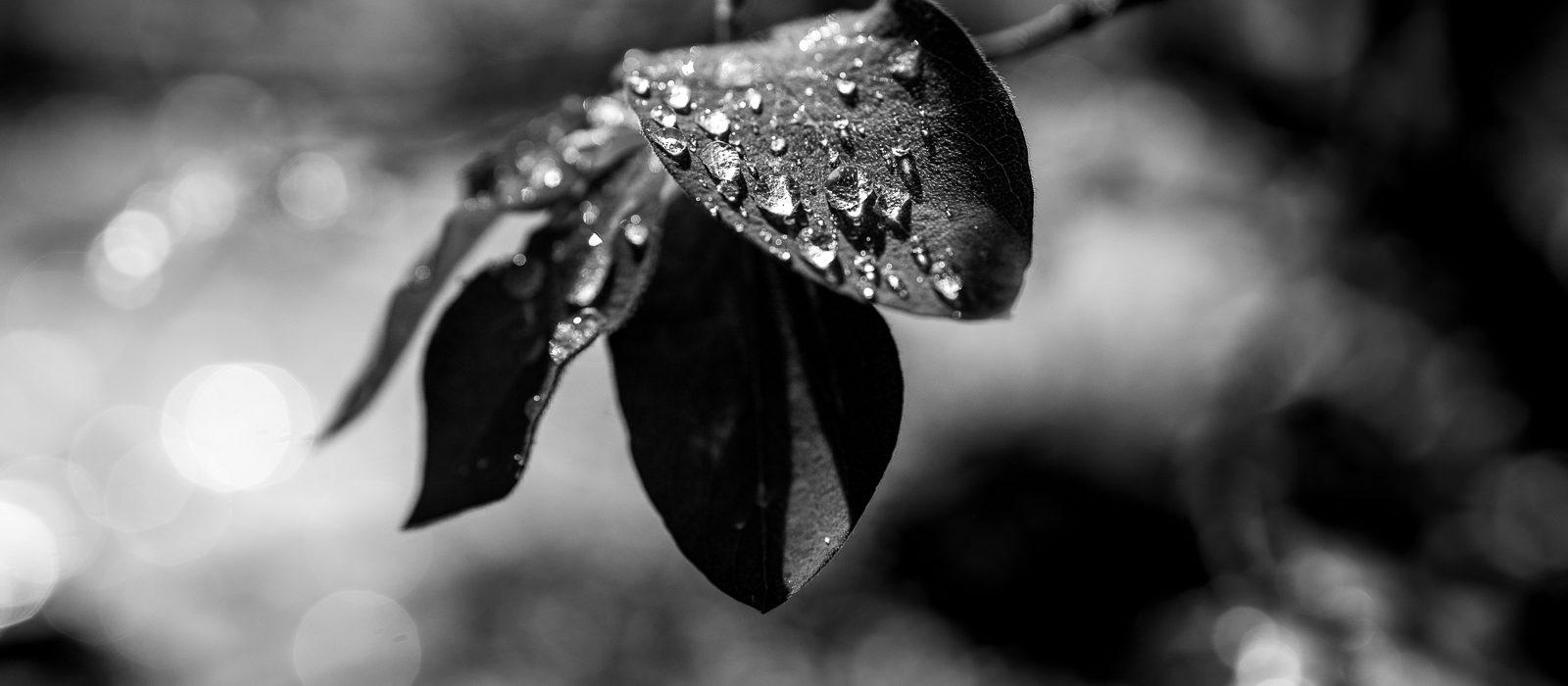 Morgentau in schwarzweiß | Norbert Eder Photography