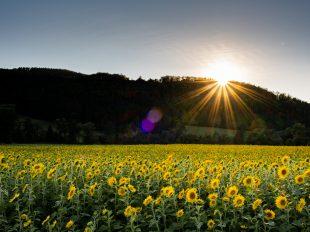 Riesiges Sonnenblumenfeld, mit bewaldetem Hügel im Hintergrund. Die Sonne geht gerade unter und ein wunderbarer Sonnenstern ist sichtbar.